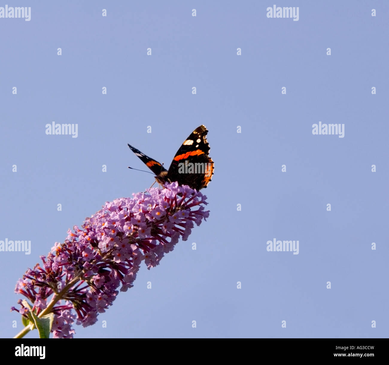 A Red Admiral butterfly feeding on a buddleia shrub - Stock Image