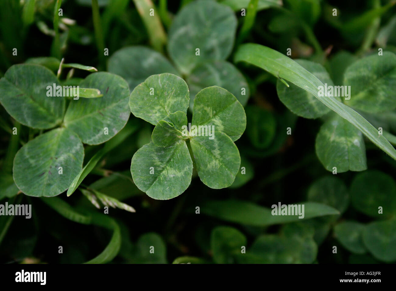 Five Leaf Clover Trifolium Repens Close Up Surrounded By Grass And