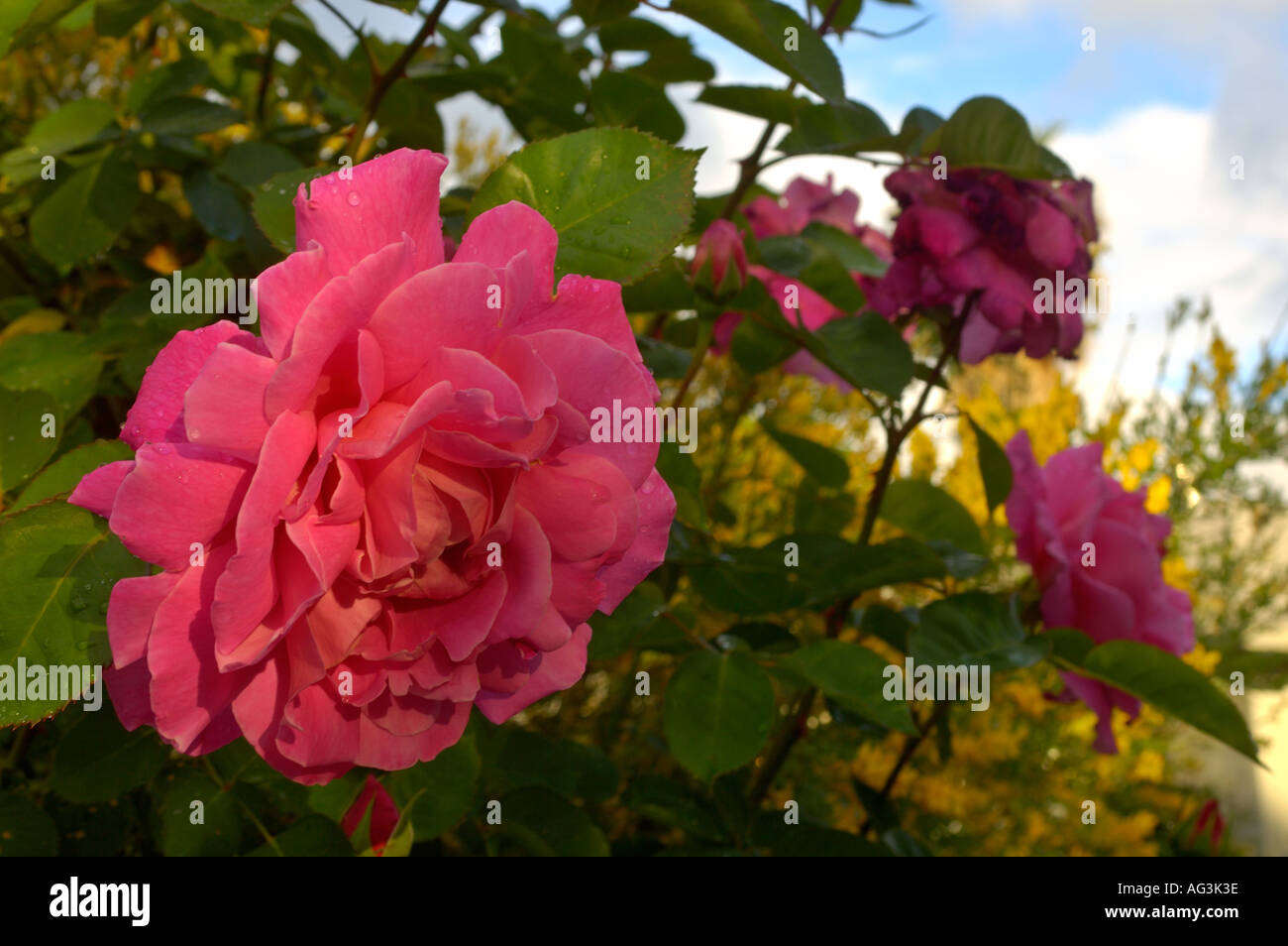 Pink Red Rose Bush Blossom Flower Bloom In Spring Garden