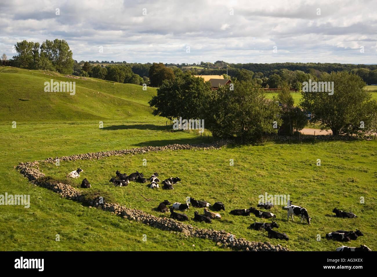 Sweden Skåne Scania Grevie Backar nature reserve cattle heifers September 2007 - Stock Image
