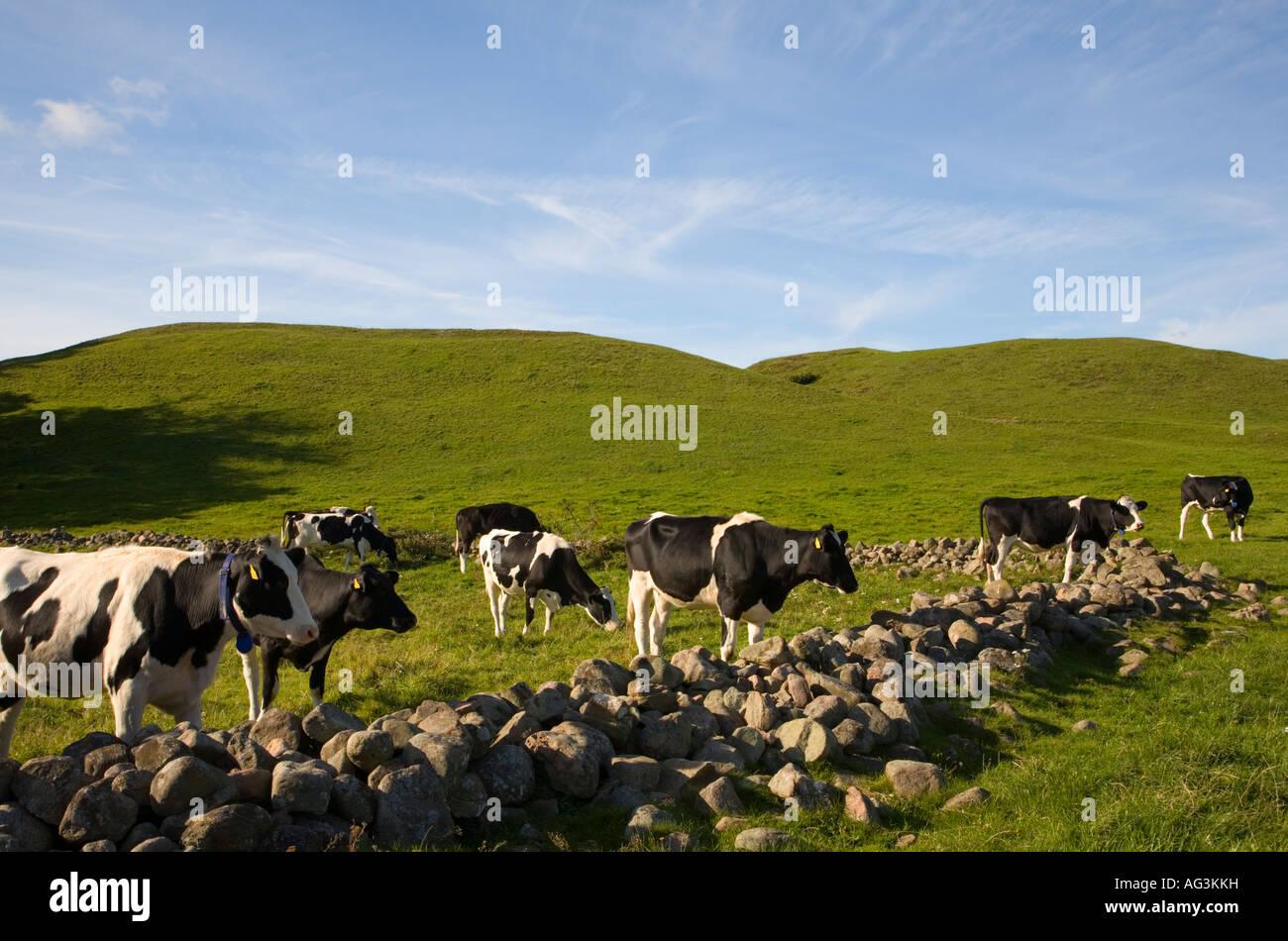 Sweden Skåne Scania Grevie Backar nature reserve grazing cattle September 2007 - Stock Image