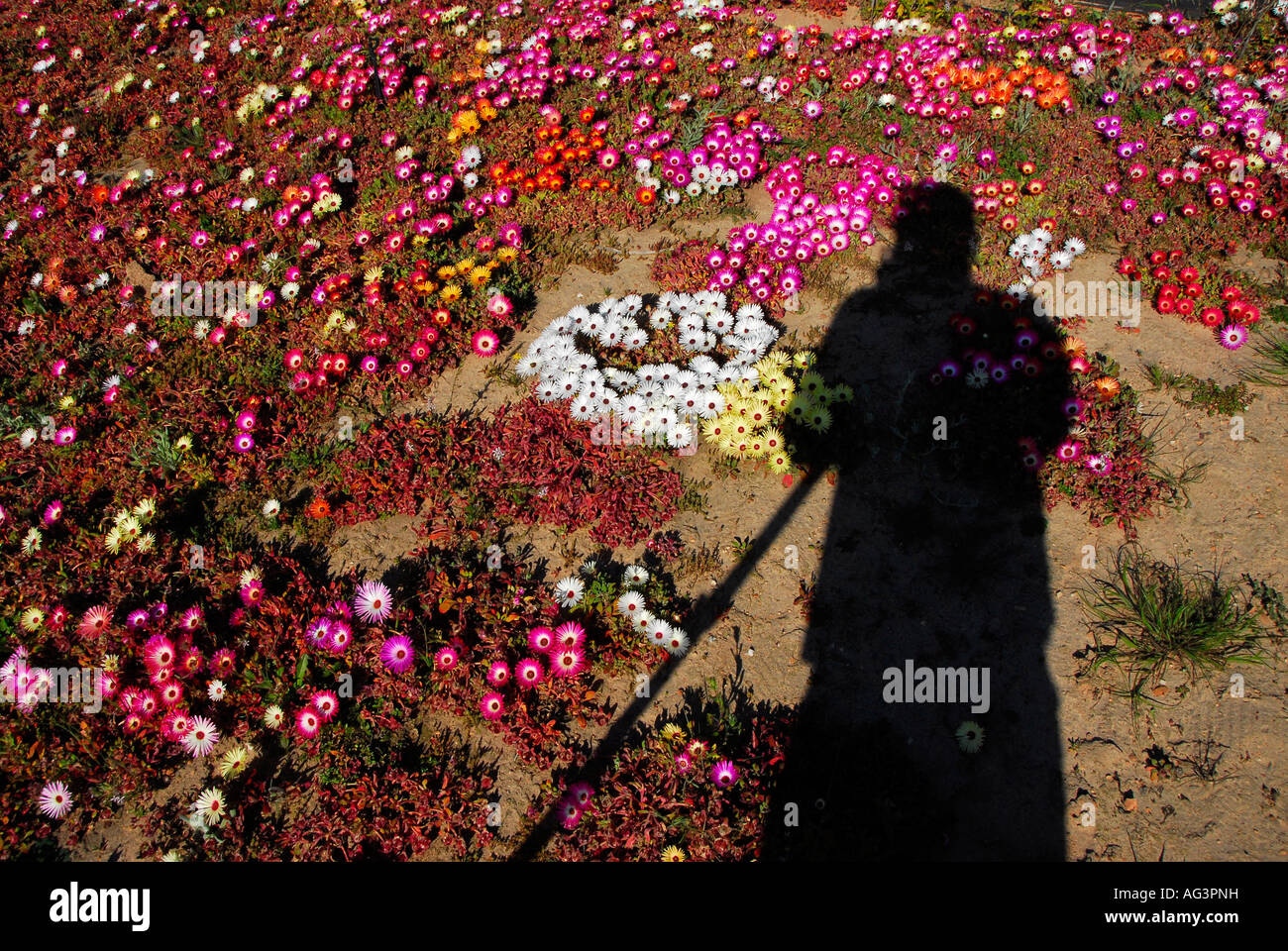 Shadow of photographer falling on patch of stunning bokbaai vygies, an annual succulent that flowers in August in - Stock Image