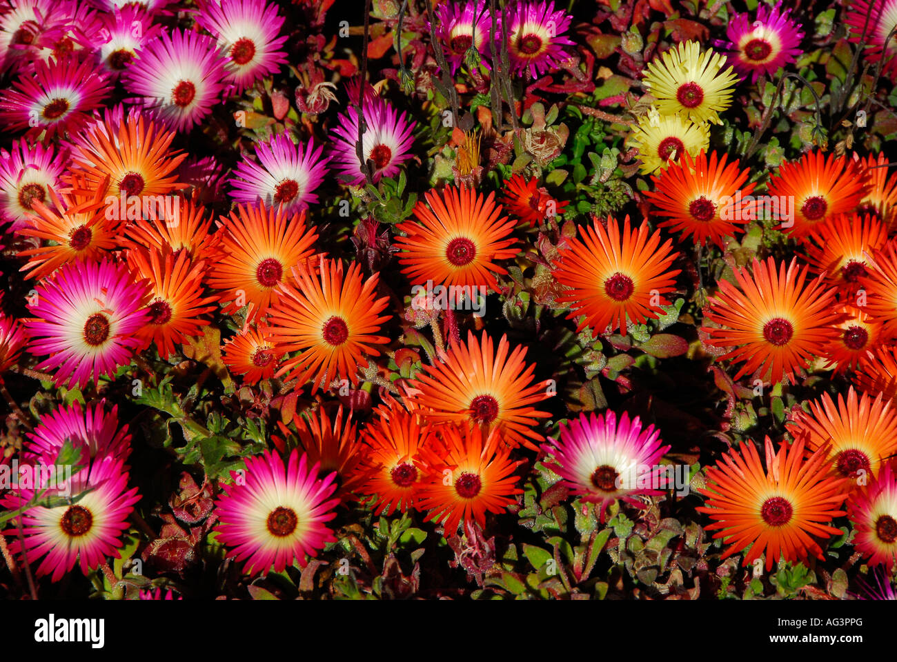 Spring show of bokbaai vygies, an annual species of succulent that grows in dry parts of South Africa - Stock Image