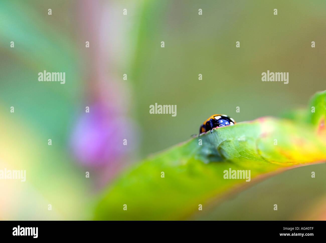 Coccinella magnifica. Ladybird on leaf. Selective focus - Stock Image