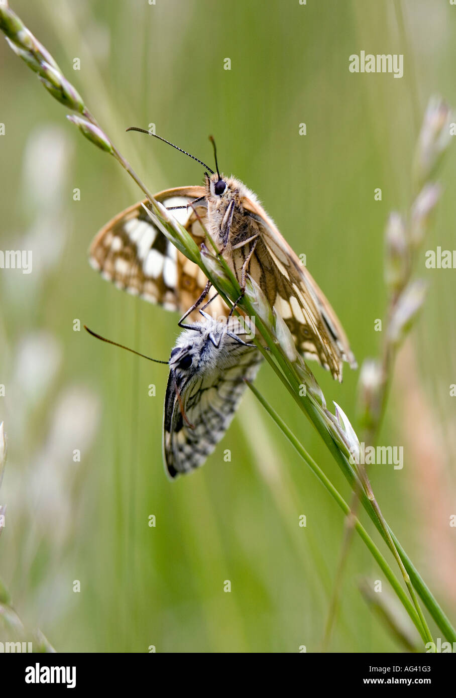 Melanargia galathea.  Marbled white butterflies mating in the english countryside Stock Photo