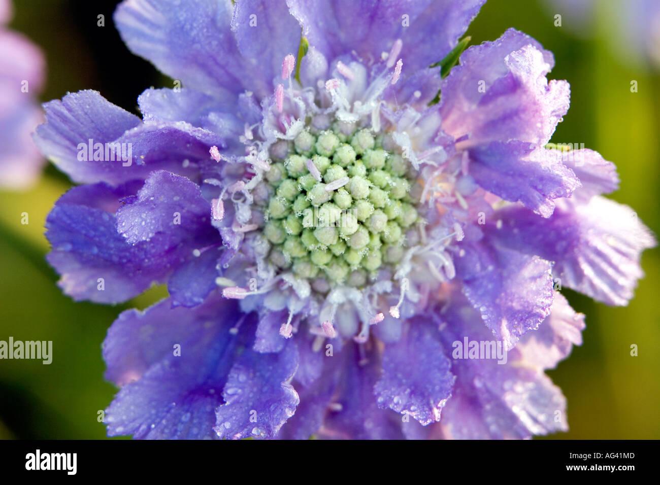 Scabiosa columbaria blue cockade flower head close-up in the sunlight - Stock Image