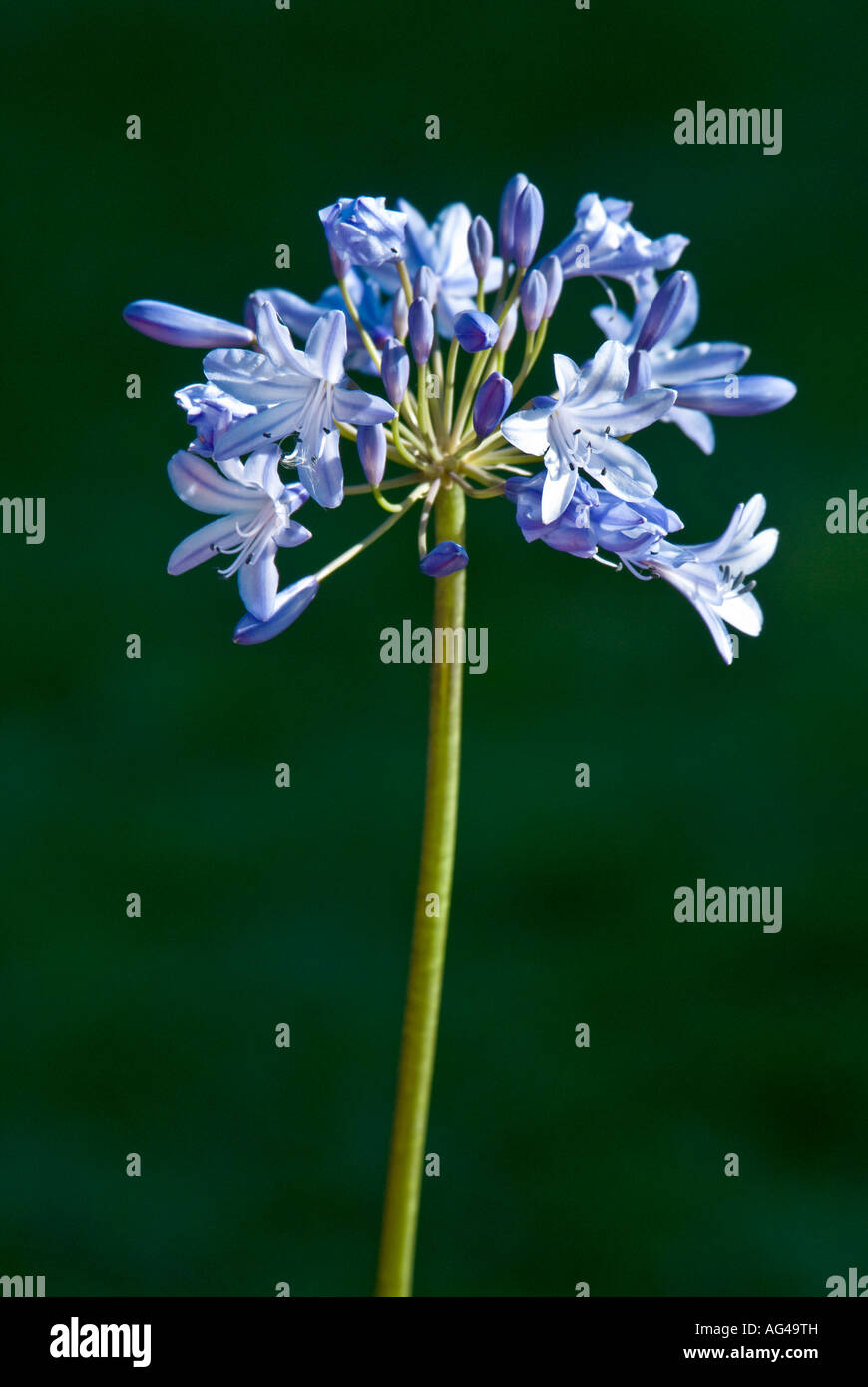 The Agapanthus the African Lily plant - Stock Image