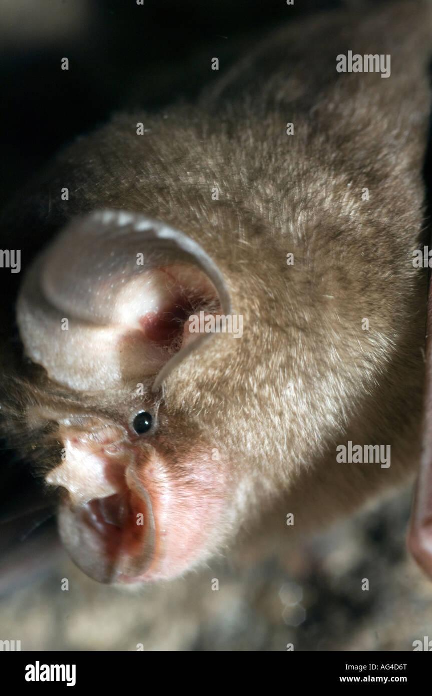 Horseshoe bat hanging from roof of cave. Bandhavgarh National Park Madhyar Pradesh India 0207 Shape of face funnels - Stock Image