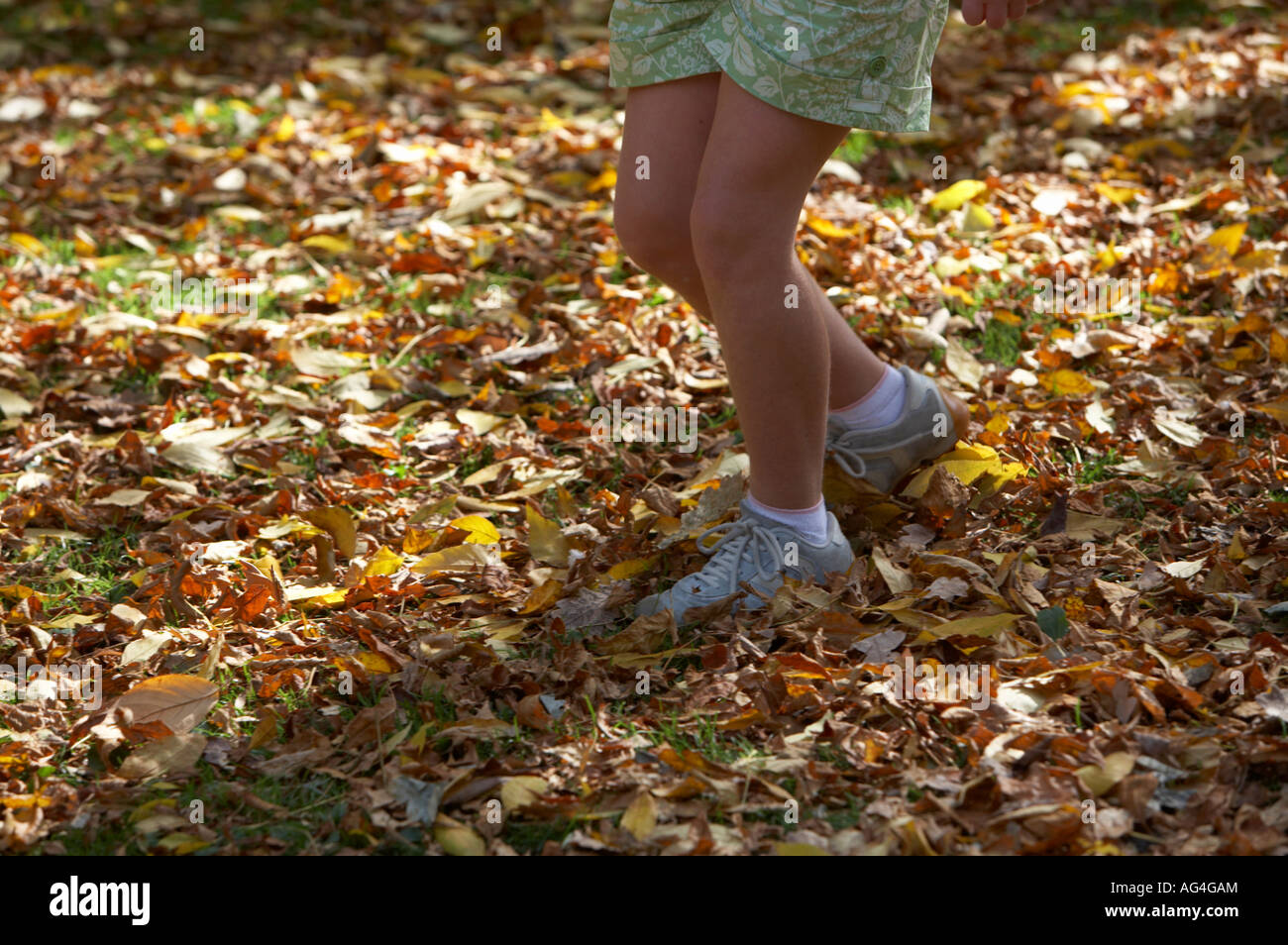 eb040faf0a2 legs of young girl wearing trainers and socks running through carpet of fallen  autumn leaves -