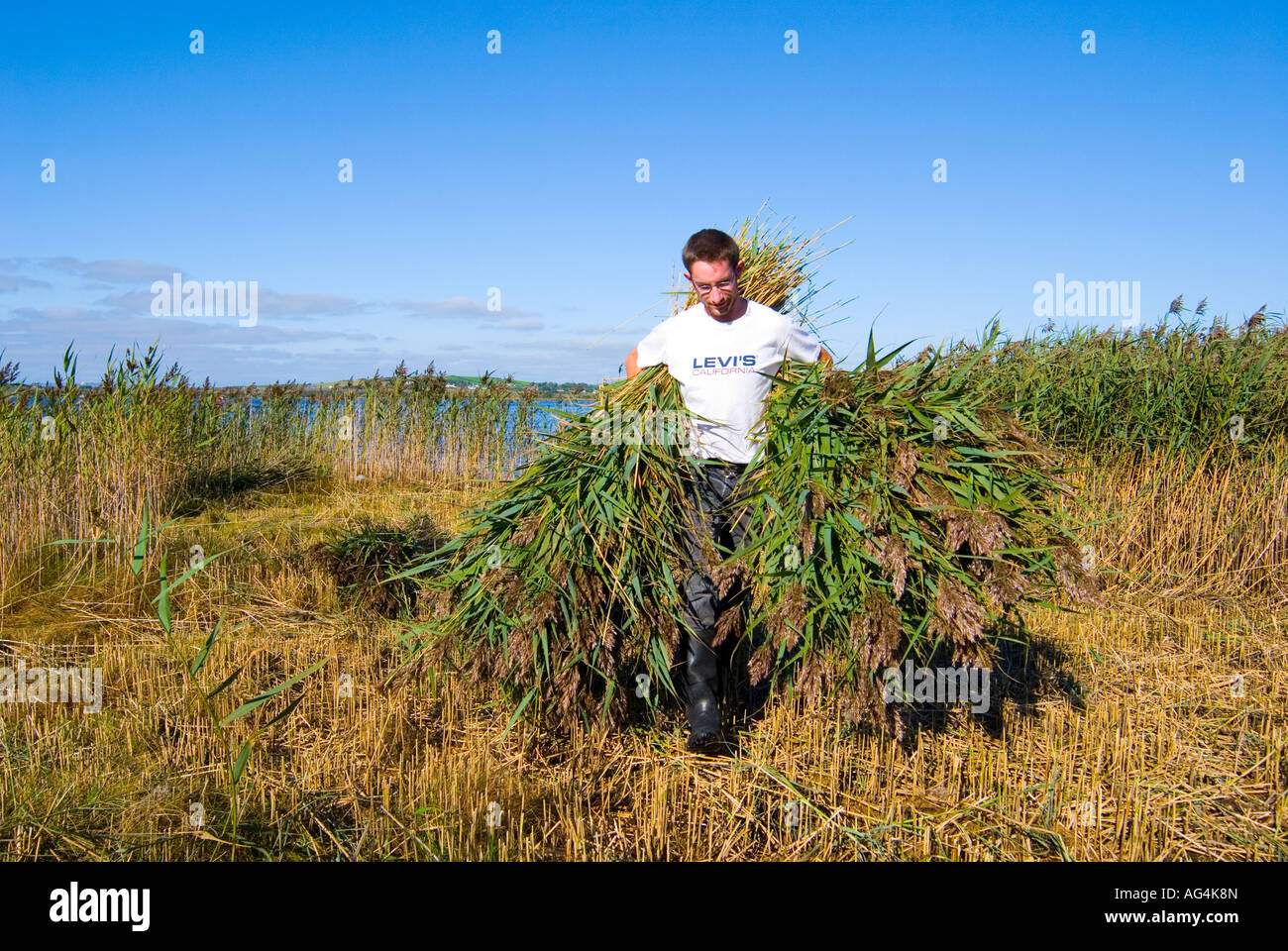 County Donegal Ireland Collecting cut reeds to be used in thatching a roof - Stock Image