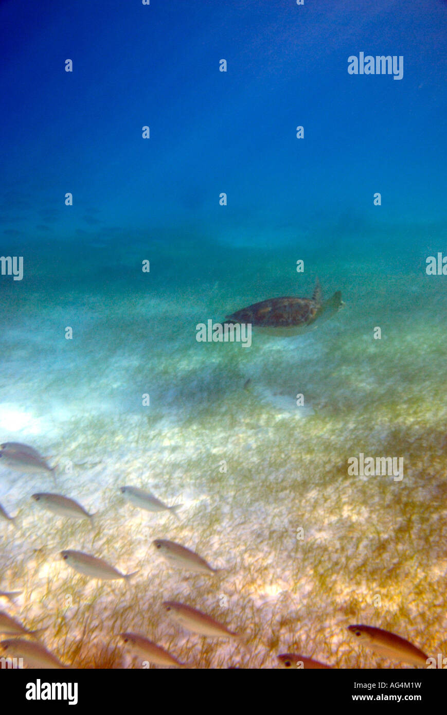 Green sea turtle Chelonia mydas swimming beside bigeye scad fish Akumal Bay Quintana Roo Mexico - Stock Image