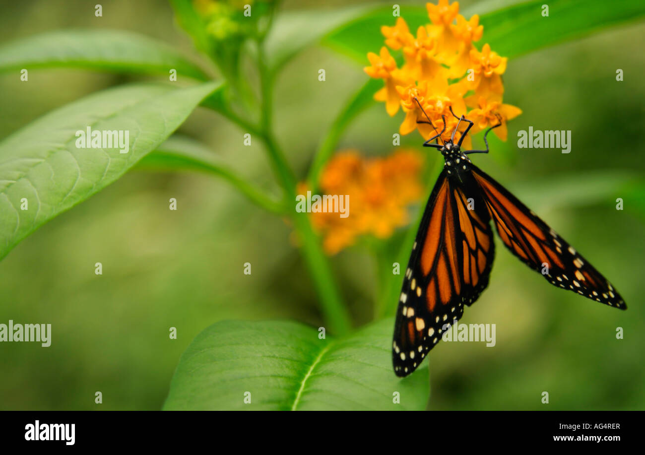 Monarch butterfly - Stock Image