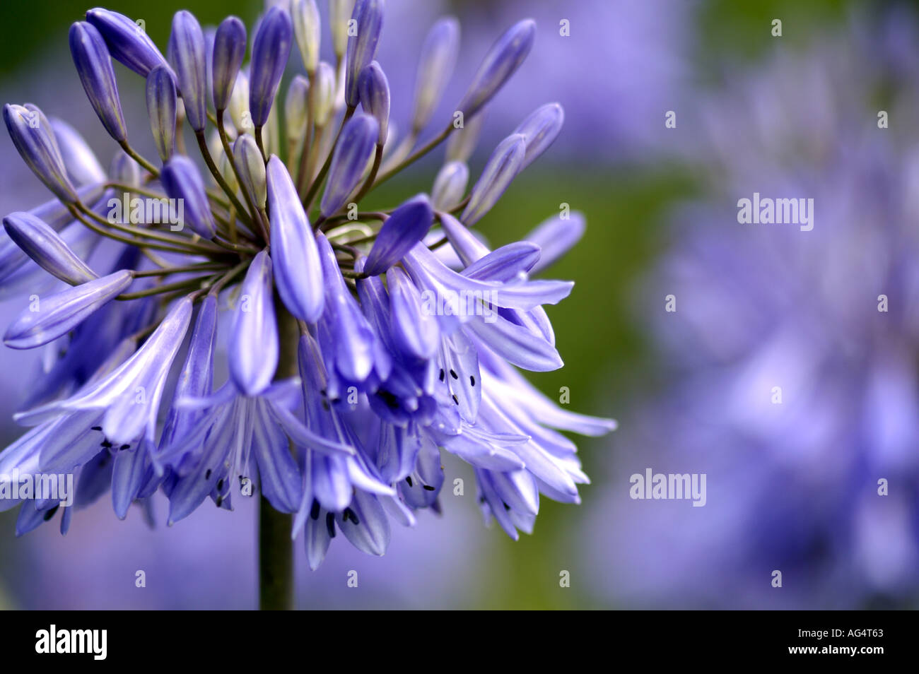 Agaphantus impetus blue lily flower stock photo 4601954 alamy agaphantus impetus blue lily flower izmirmasajfo