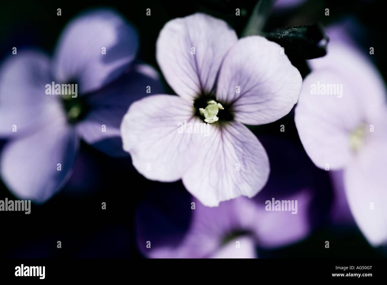Close up shot of mauve Wallflowers against a black backdrop - Stock Image