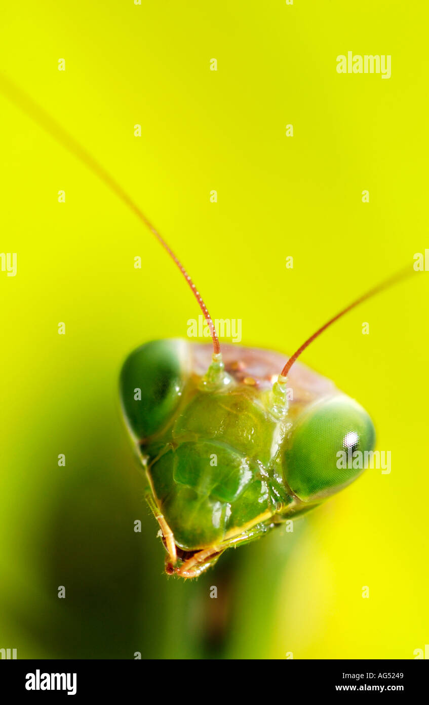 Closeup of Praying Mantis Head - Stock Image