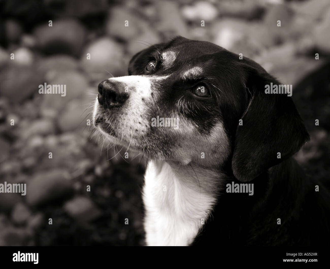 Black and white image of an adult dog stock image