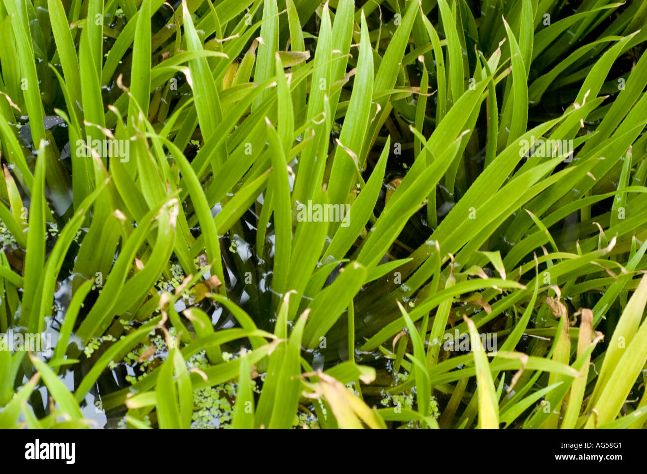 water soldiers Hydrocharitaceae Stratiotes aloides Europe - Stock Image