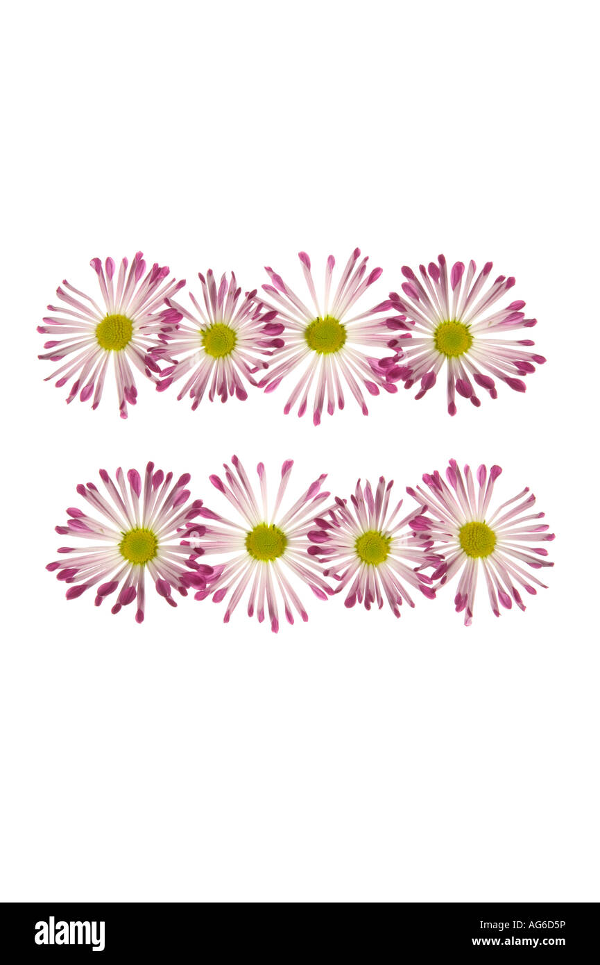 Equals Sign Made Of Pink And White Daisies Stock Photo
