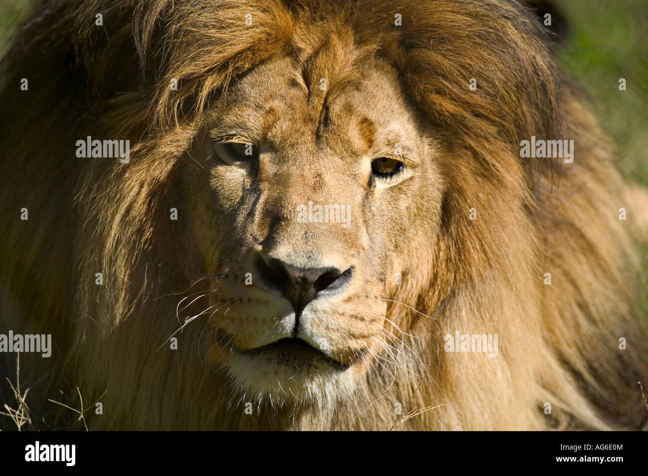 King Of The Jungle - Stock Image