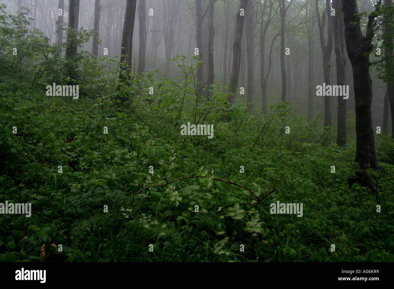 forest - Stock Image