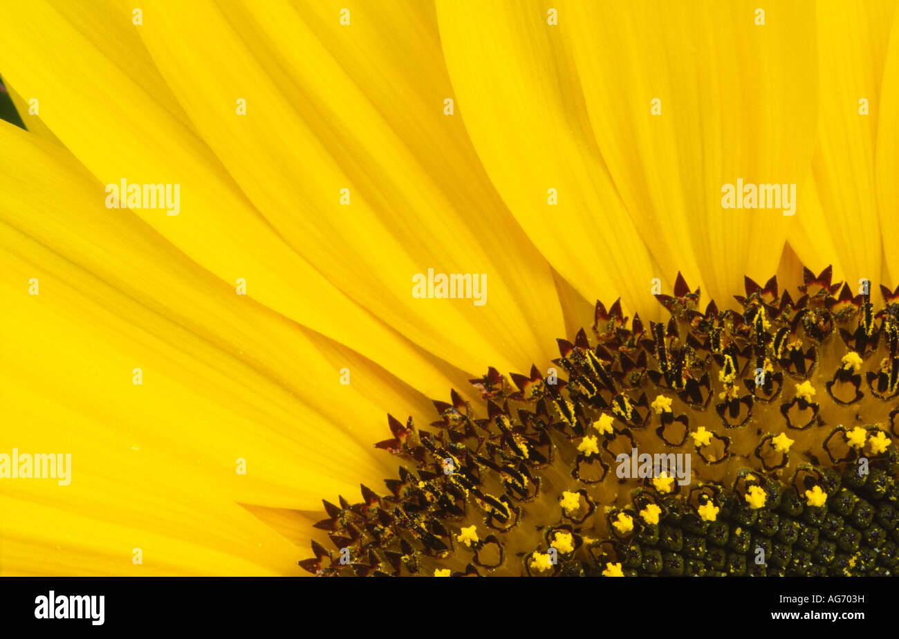 Summer flowers macro photograph of sunflower Giant Single looking at its textures shape and design UK - Stock Image