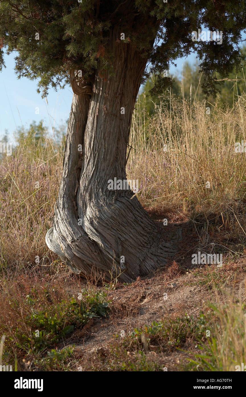 Alter Wacholderbaum Juniperus communis Common Juniper tree Stock Photo