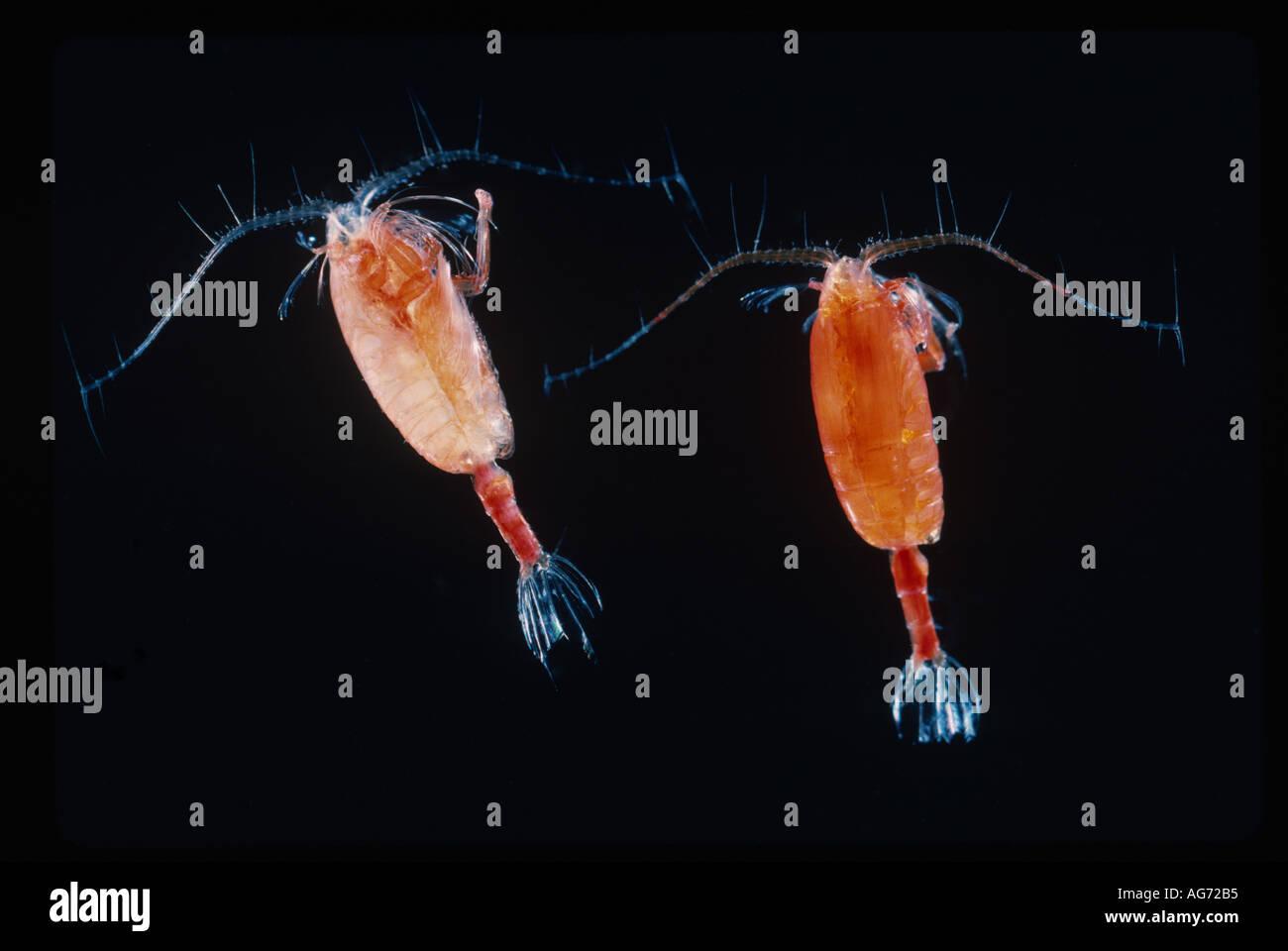 Marine copepods Megacalanus - Stock Image
