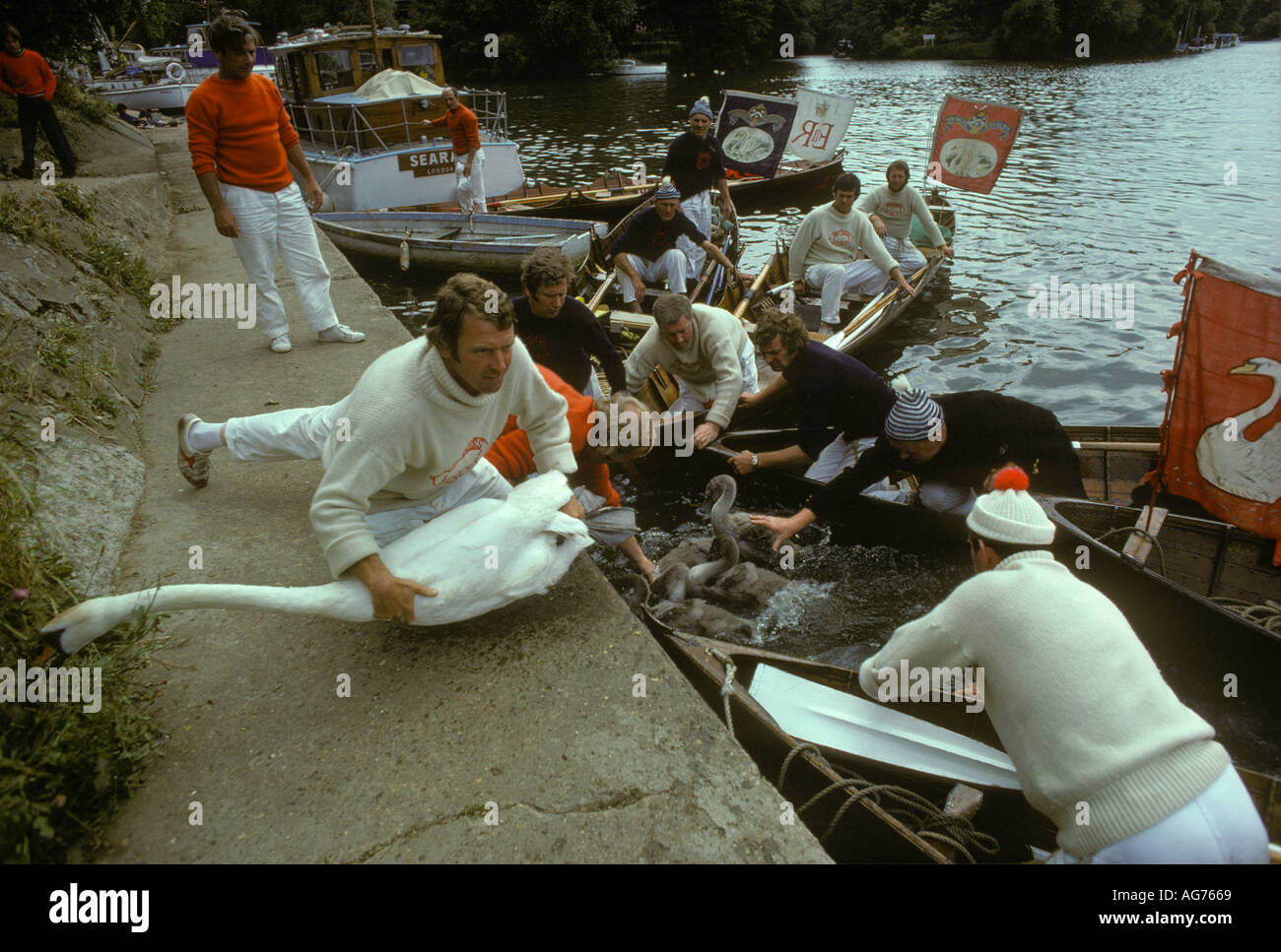 Swan Upping on the River Thames London,  Berkshire England HOMER SYKES - Stock Image