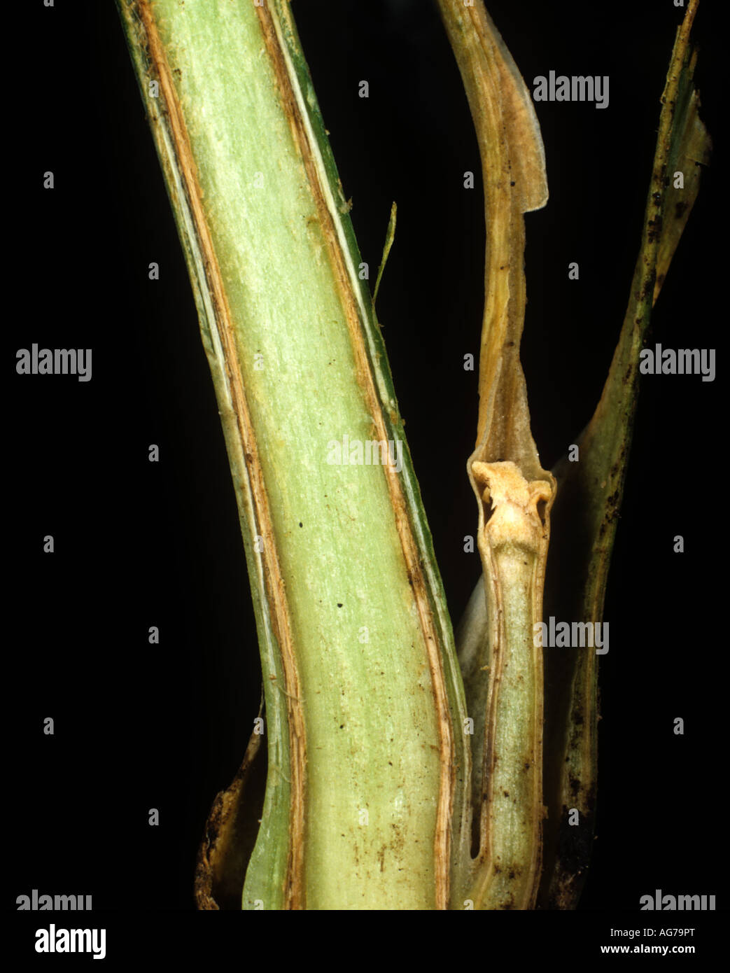 Section of a carnation stem showing vascular tissue damaged by Fusarium oxysporum - Stock Image
