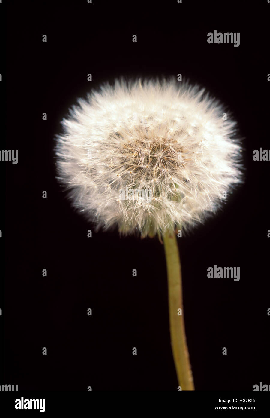 Withered dandelion  Stock Photo