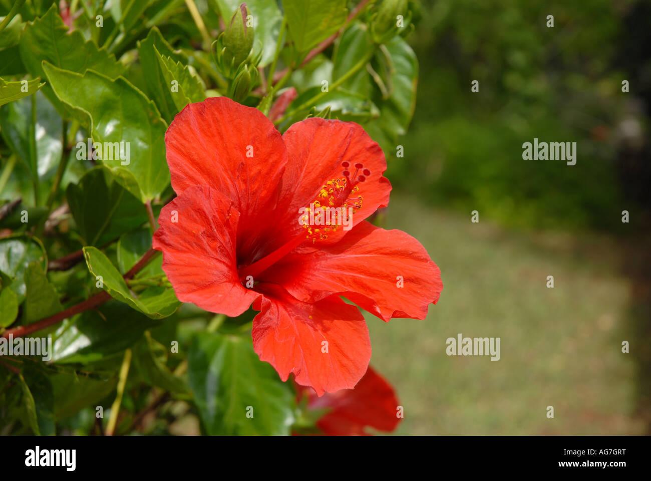 Red hibiscus in full bloom stock photos red hibiscus in full bloom bright red hibiscus flower in full sun stock image izmirmasajfo