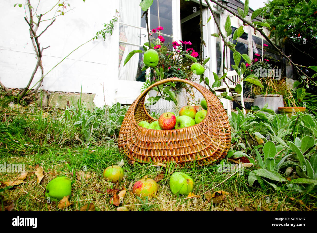 Basket of apples in an orchard in Sussex, England, UK Stock Photo