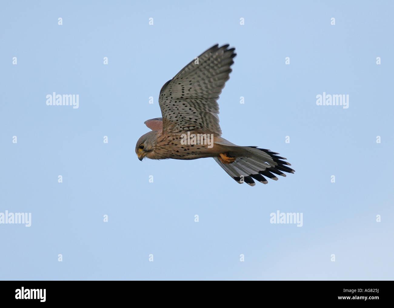 Turmfalke im Flug ruettelnd Common Kestrel Falco tinnunculus in flight hovering Stock Photo