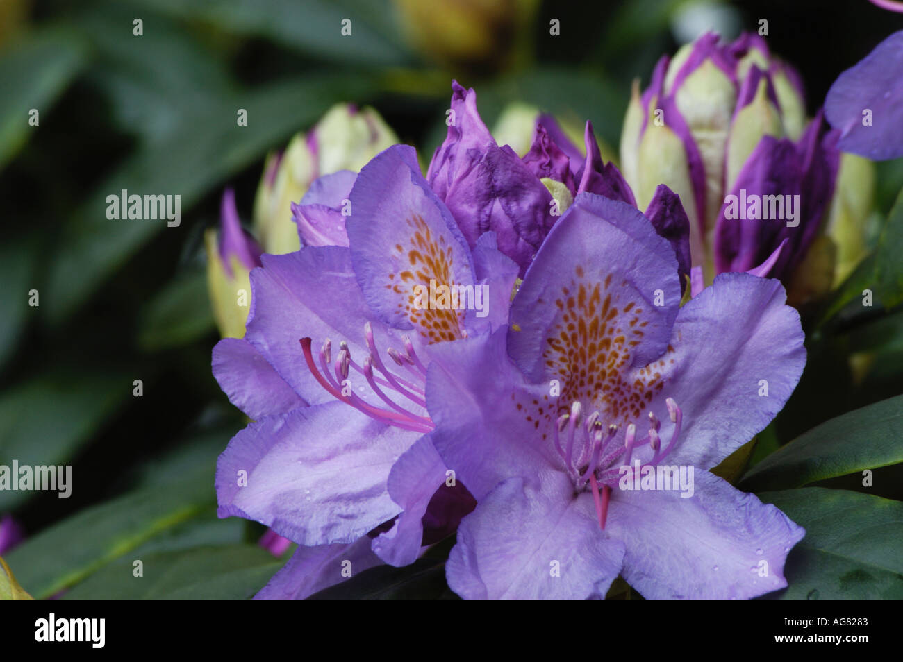 Rhododendron - Stock Image