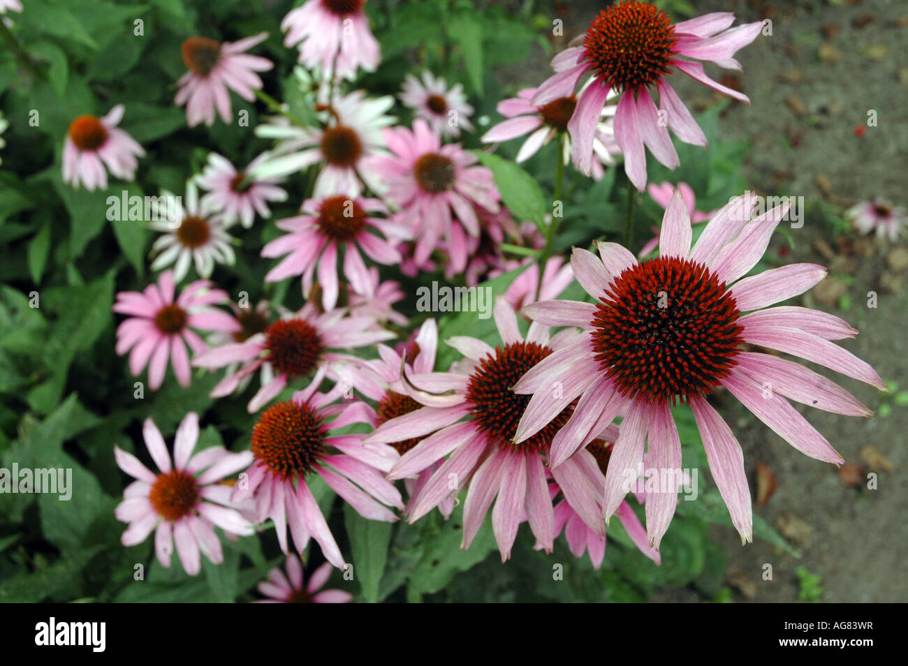 Eastern Purple Coneflower Echinacea purpurea - Stock Image