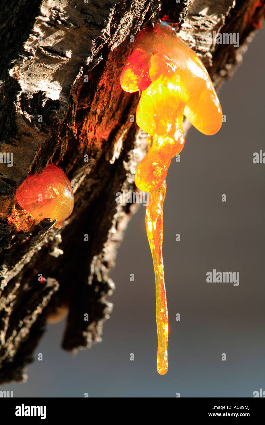 Resin exuding from the trunk of an Almond tree Prunus dulcis Spain - Stock Image