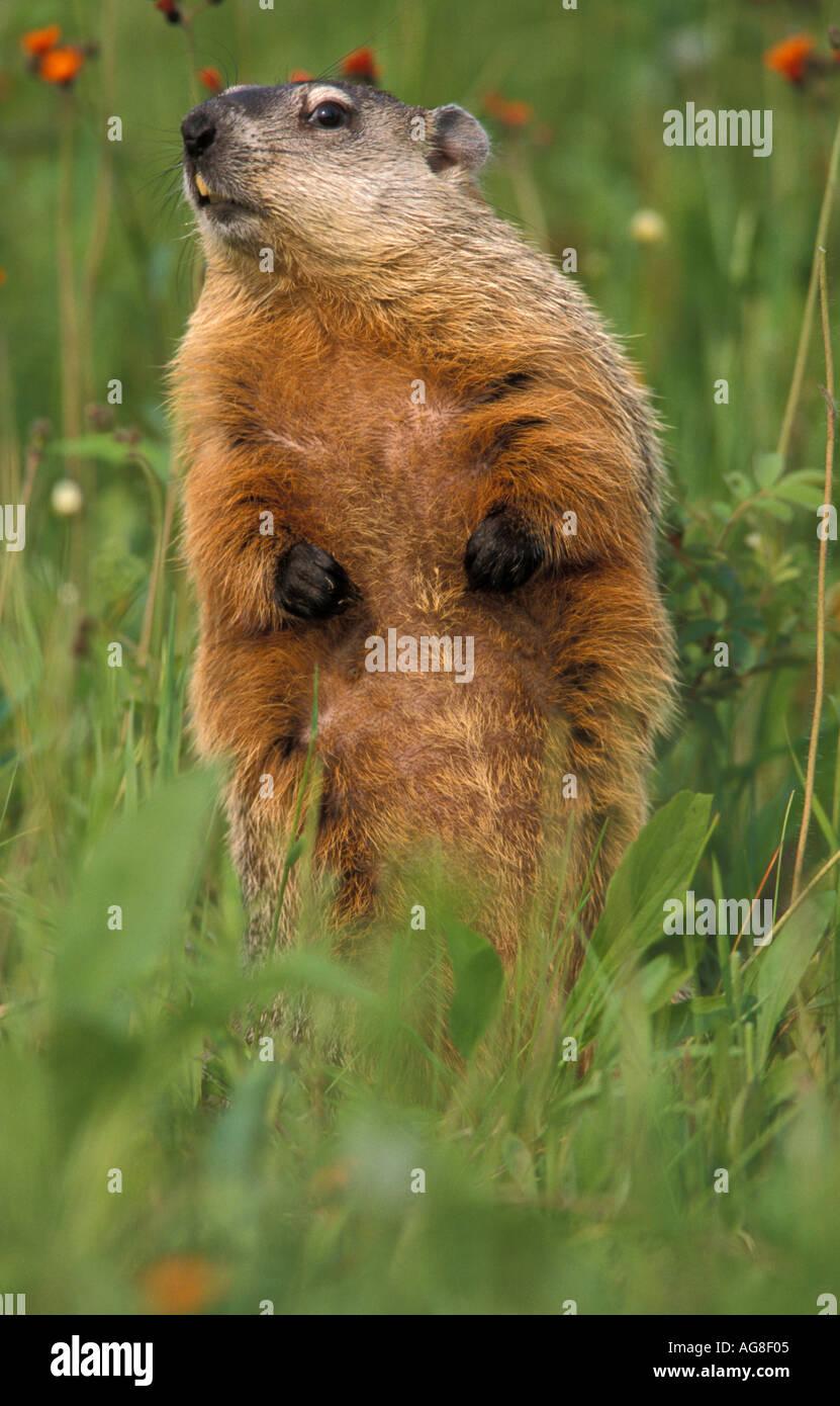 Groundhog or Woodchuck Marmota monax - Stock Image
