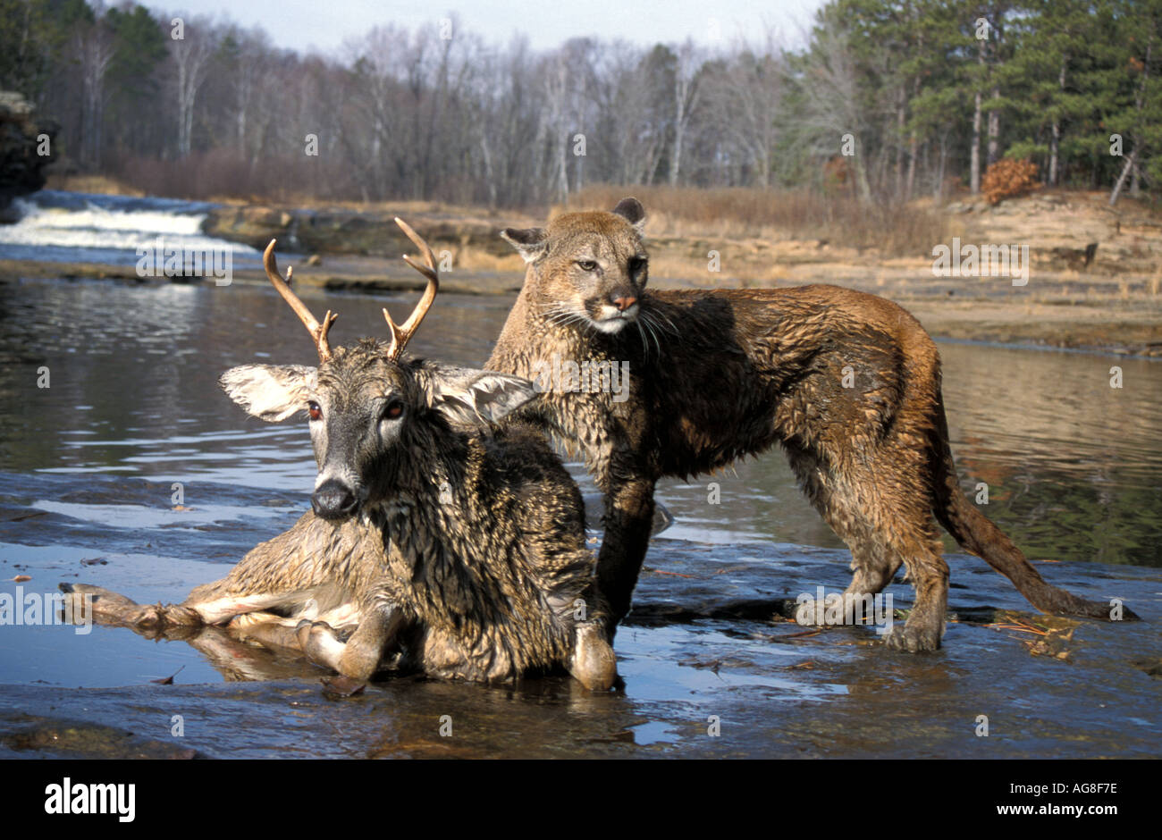 Mountain Lion Puma Cougar Felis concolor Minnesota on deer