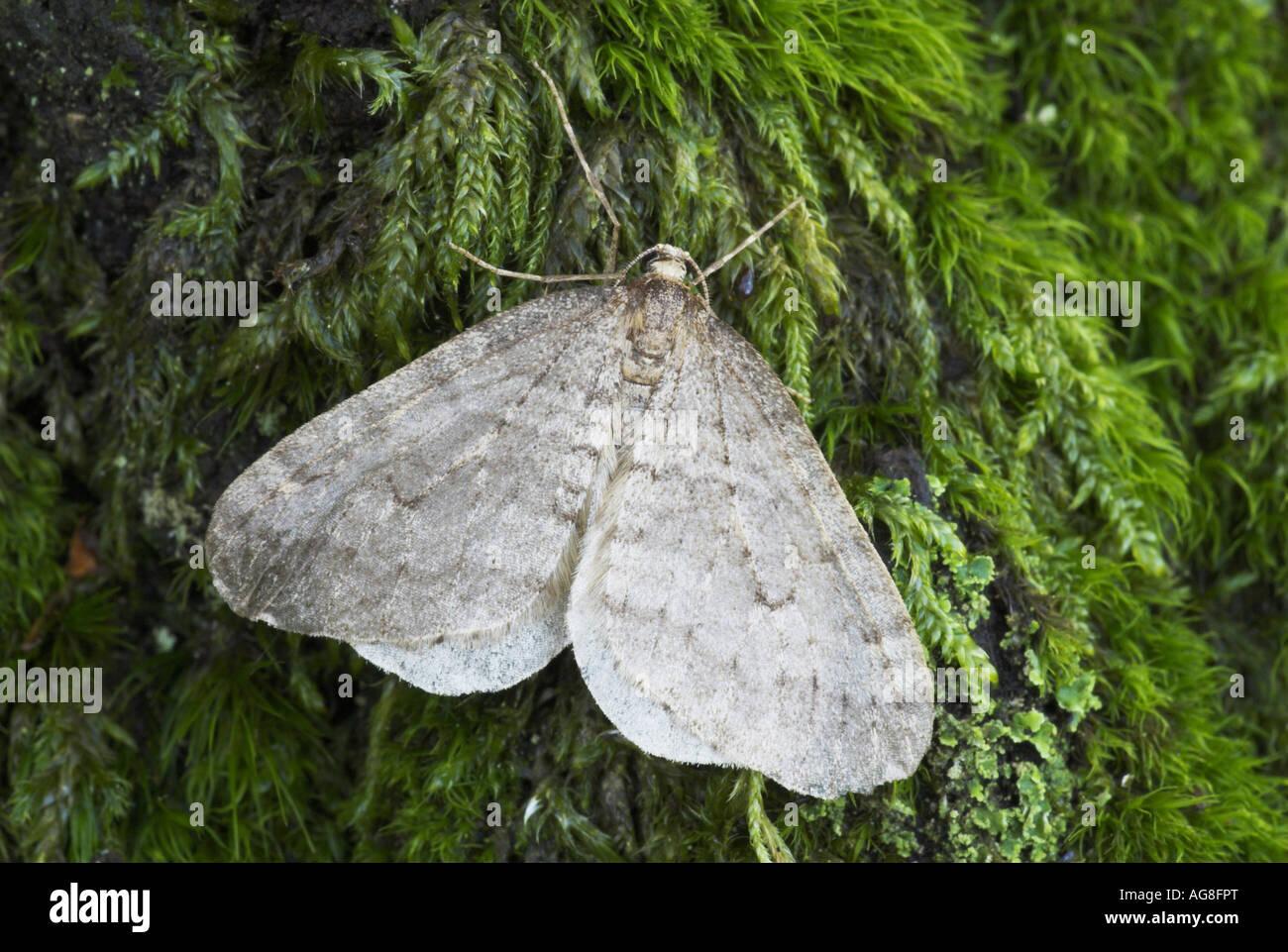 winter moth, small winter moth (Operophtera brumata, Cheimatobia brumata), sitting on moss, Germany, Saarland - Stock Image