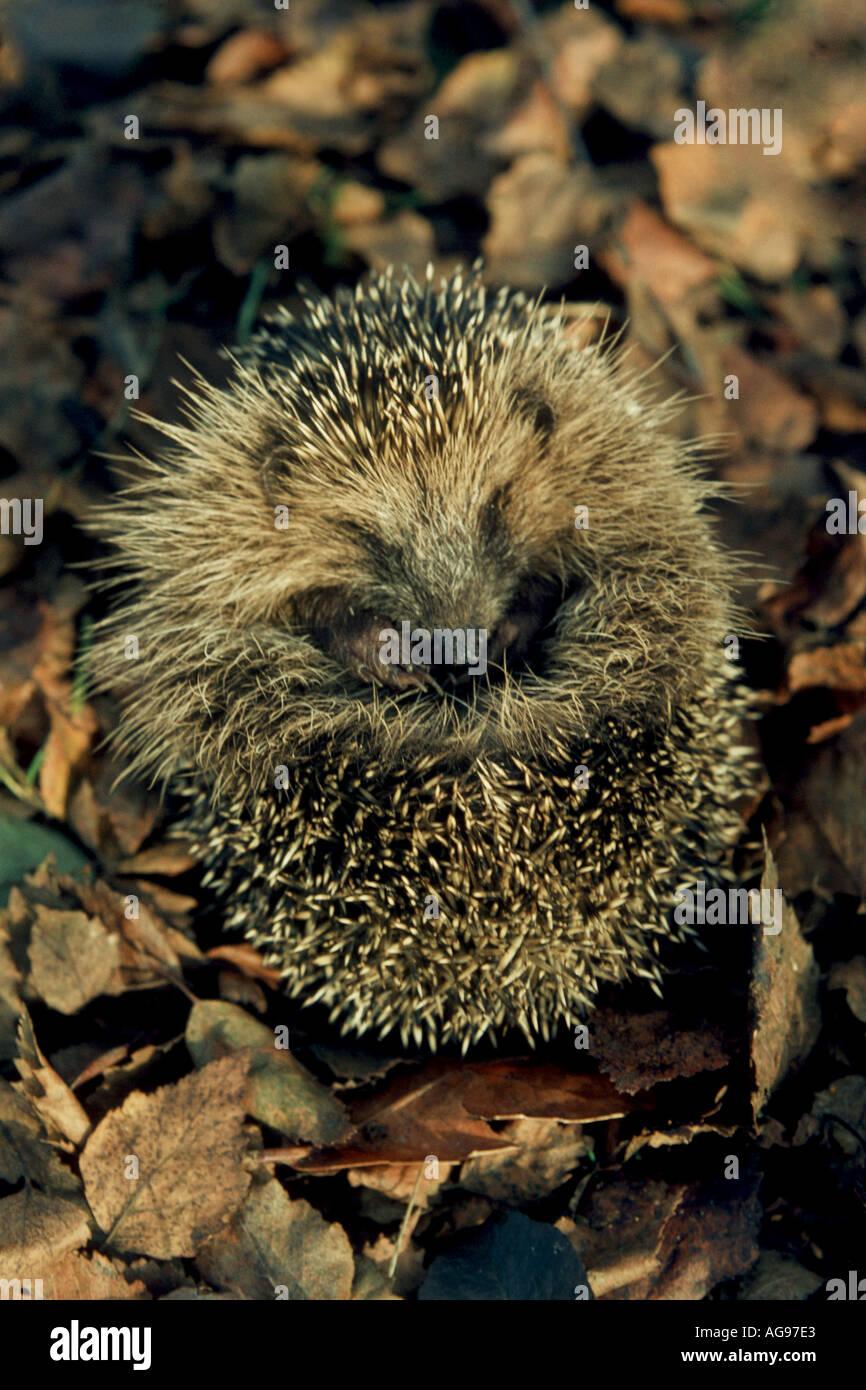Hibernating hedgehog - Stock Image