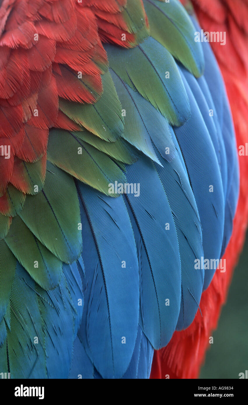 Green winged macaw feathers - Stock Image