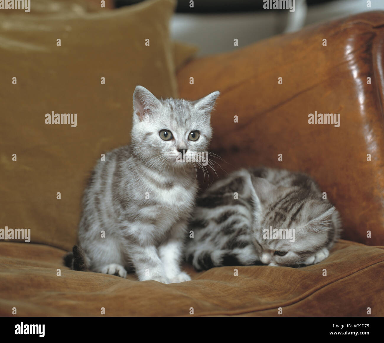 pair of kittens siting on sofa - Stock Image