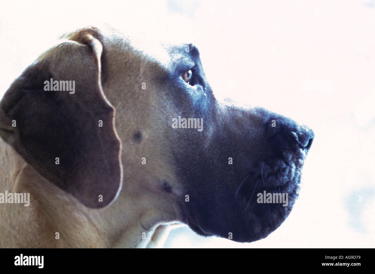 Great Dane dog portrait - Stock Image
