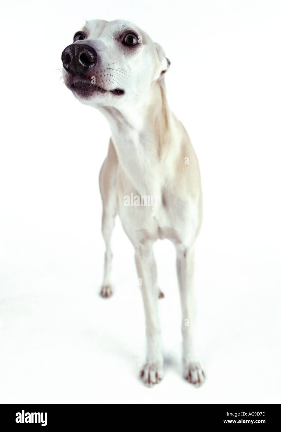 white whippet dog - Stock Image