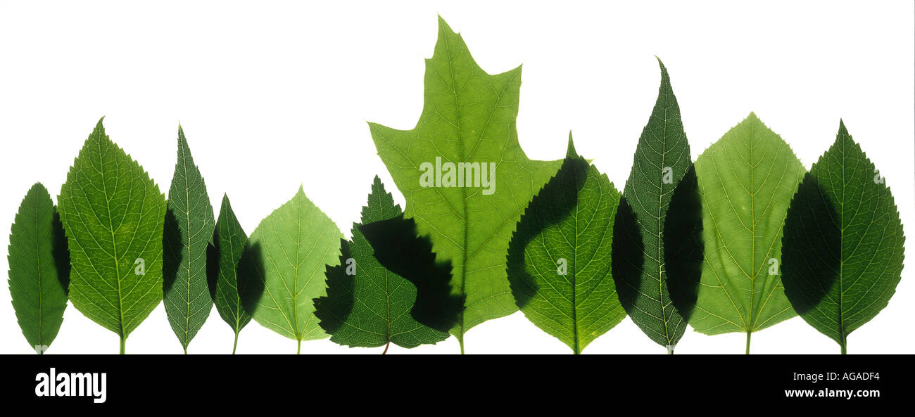 Row of  leaves lit from behind, white background - Stock Image