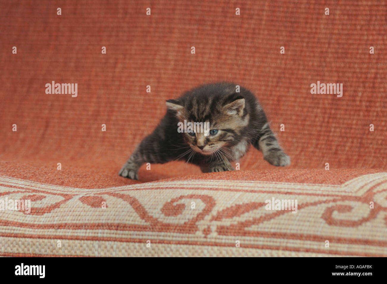 Kitten Standing On A Rug. - Stock Image