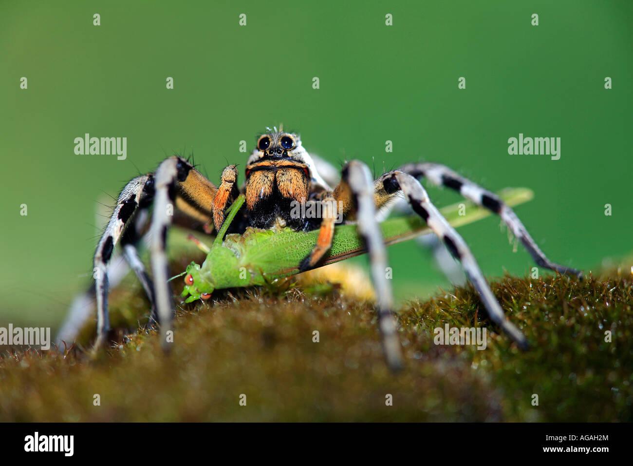 Wolf spider Lycosa fasciventris feeding on Grasshopper Tettigonia sp Spain - Stock Image