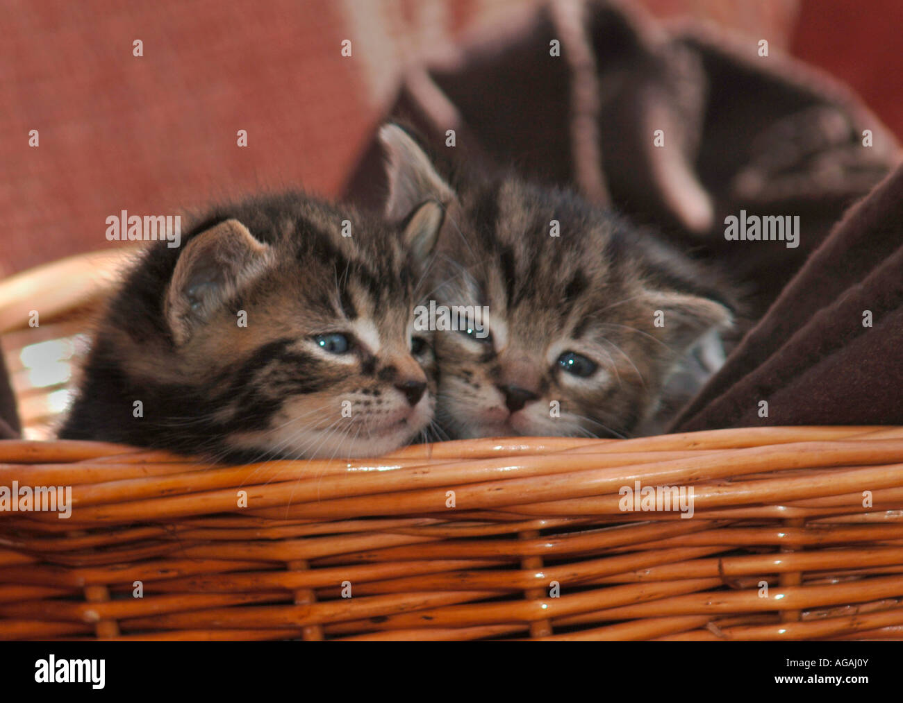 Kittens In A Basket - Stock Image