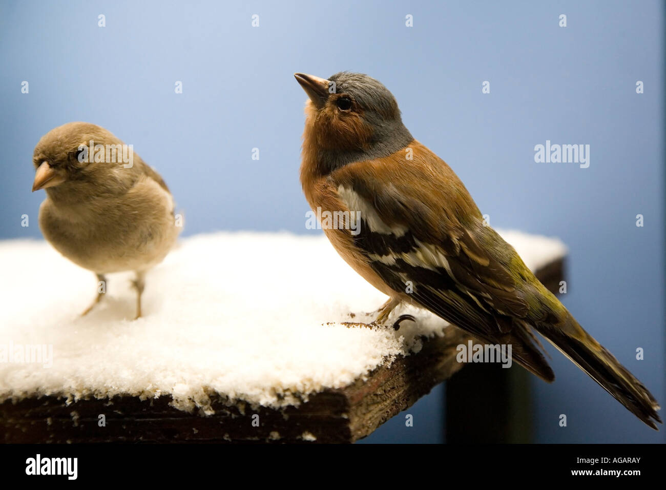 Male and female Chaffinches - Stock Image