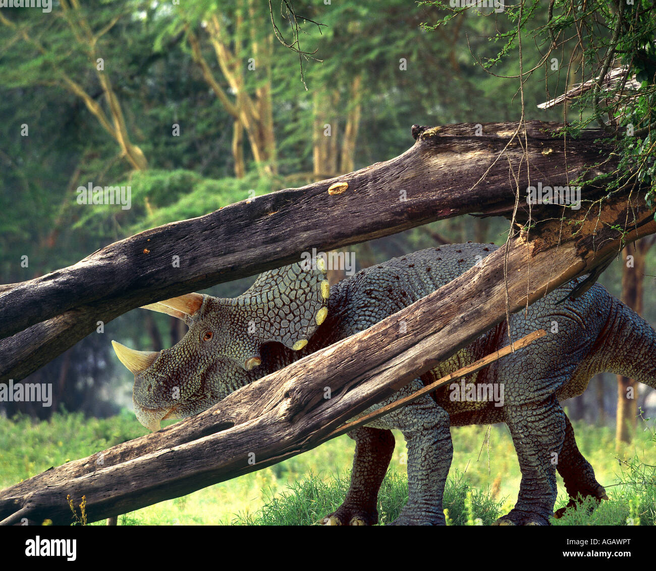 Triceratops dinosaur in an African environment - Stock Image